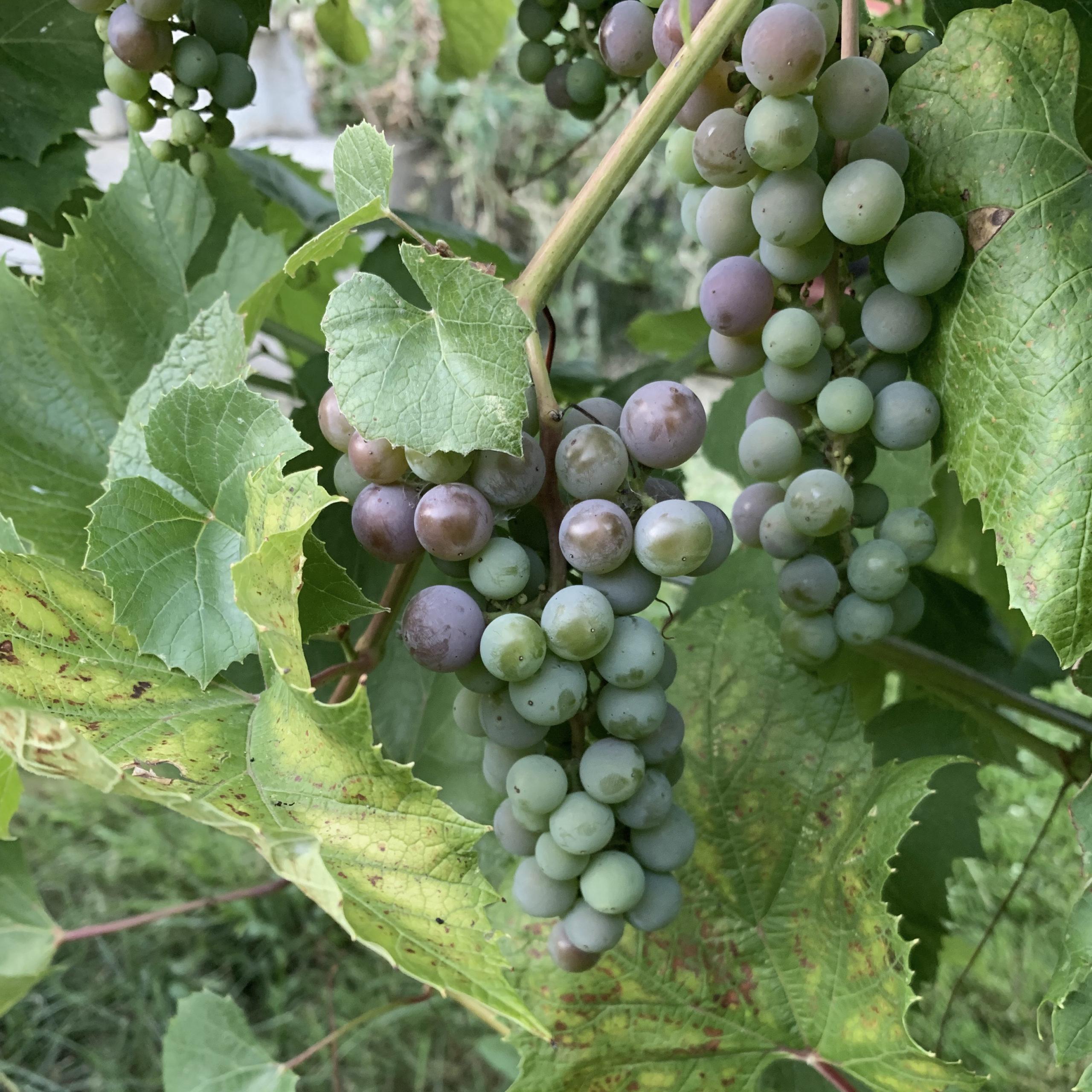 Radix-Grapes